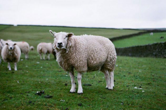 Aide ovine