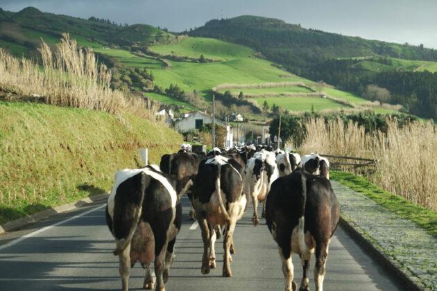 Production de lait par vache